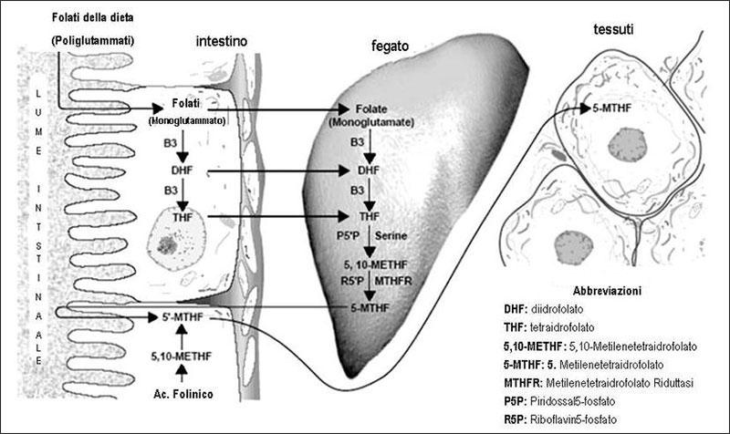 trasformazioni acido folico