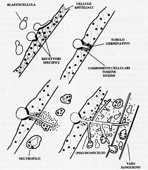 lieviti e psoriasi - candida perforazione epiteli