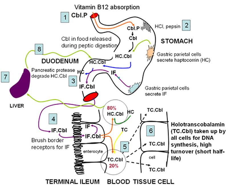 assorbimento vit B12