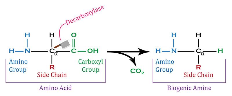 enzima decarbossilasi