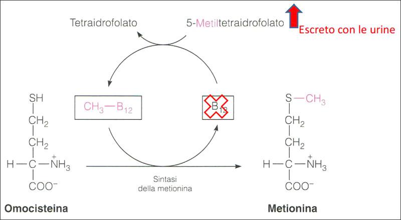 sintasi della metionina