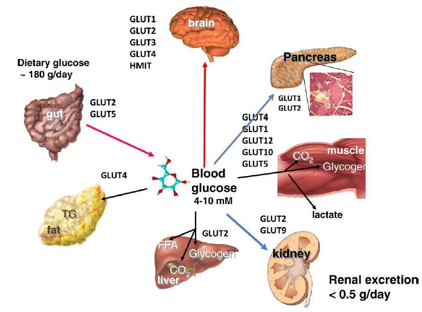 insulino-resistenza 1