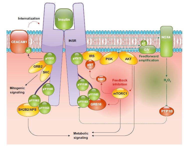 insulino-resistenza 4