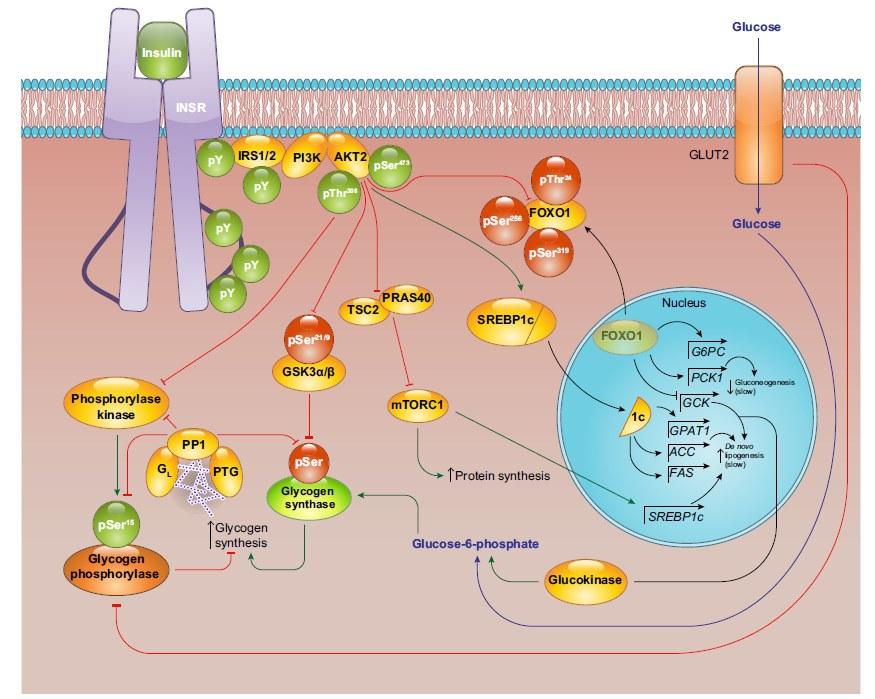 insulino-resistenza 6