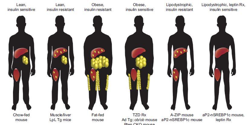 insulino-resistenza 14